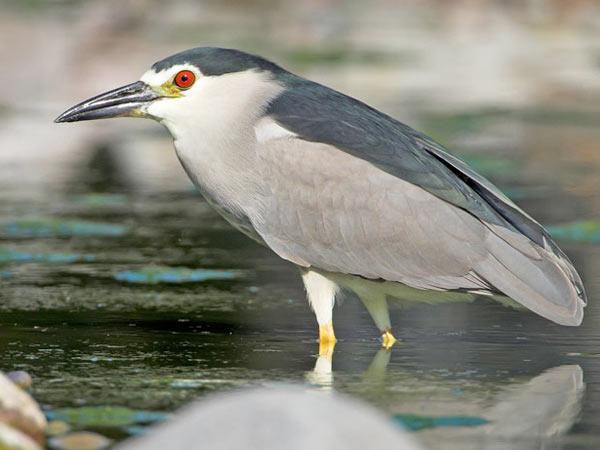heron-bihoreau